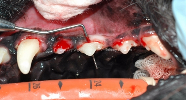 2b-post-cleaning-furcation-exposure-3-tooth-must-be-extracted