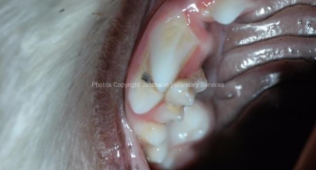 3-persistant-deciduous-108-upper-premolar