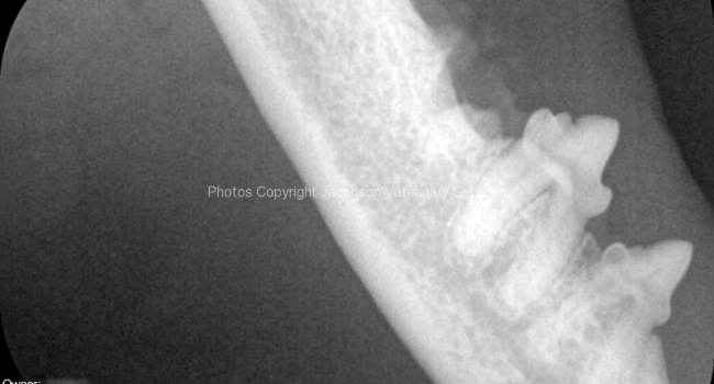 3a-post-extraction-radiograph-to-ensure-no-root-tip-fragments-were-left-behind